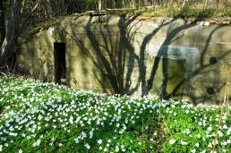 Bunker and wood anemones, Bangsbo Fort, Frederekshavn, Denmark